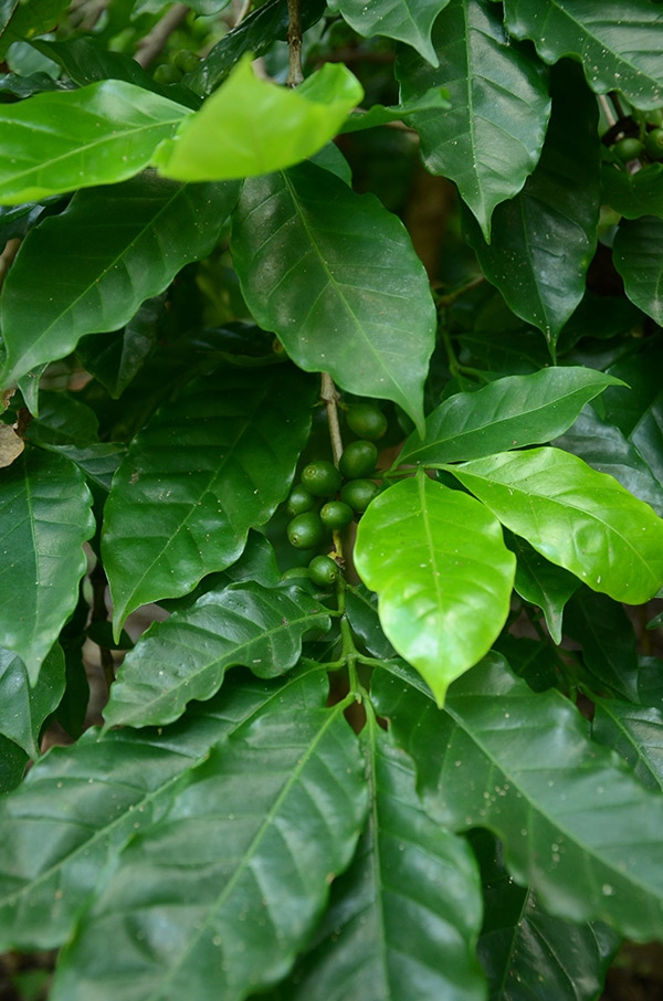 Cultivo de café_achuapa_naturaleza_gal10