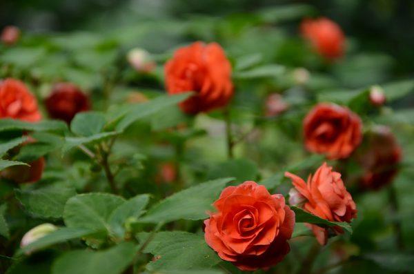 Flor de China achuapa_naturaleza2