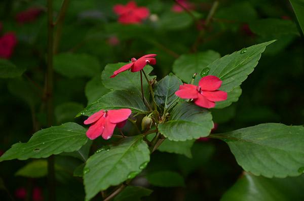 Flor de china_achuapa_naturaleza_gal9