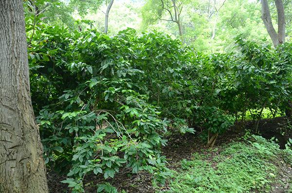 Plantío de café_achuapa_naturaleza_gal6